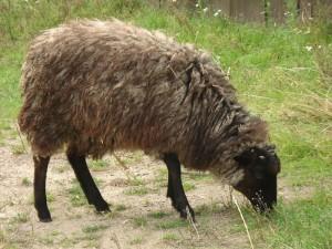 owcawrzoswoka_wikipedia_800px