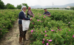 Rose harvesting.Isparta.May 2016
